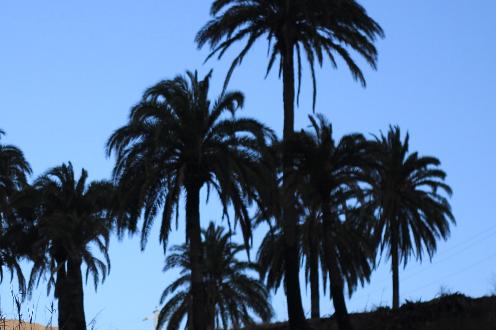 Palmeras Canarias contraluz 500x500 px